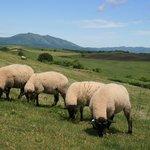 草をむち羊たちと西別岳