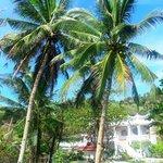 Coconut palms near pool area