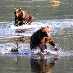 Bears playing in the shallow water.