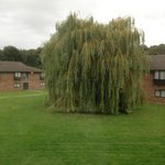 A gorgeous willow at the Peterborough Marriott
