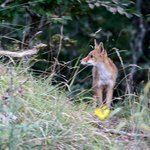 a fox prowls the forest near the hotel