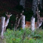 young and old stags spotted near the hotel
