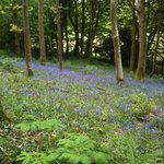nearby bluebell wood