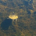 A tutle swimming in the lake
