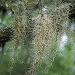 Some of the Spanish Moss that drapes the oak trees throughout the park.