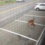 Deer in parking lot