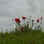 Poppies on Flanders field