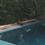 Monkeys drinking at the plunge pool
