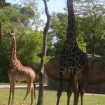 One of the many fiews of the giraffes