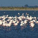 Greater Flamingos at Kitros saltpan (10m drive from hotel)