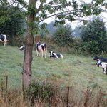 Cows in the morning!