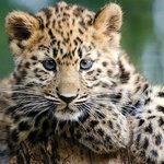 Kanika the Amur leopard cub by Rob Franklin