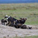 Wild Dogs Laikipia