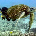 Turtle Cleaning Station at Puako Hawaii on 8/23/14, taken with a GoPro Black