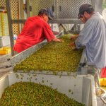 Workers Processing Grapes During the Harvest