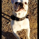The B&B's watch dog:  A French Bulldog, of course