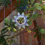 passion fruit flower from the terrace