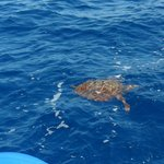 So lucky to see a turtle swimming by our boat :)