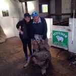 Sheep shearing demonstration on farm tour - Pete's Farm Stay B&B.