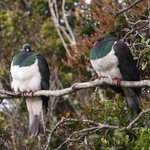 Kereru (NZ pigeons) at Stewart Island Lodge, Stewart Island, New Zealand
