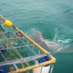 Close encounters with great whites are awesome!
