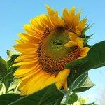 A Sunflower at the Organic Garden