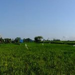 A Panoramic Shot of the vast paddy fields.