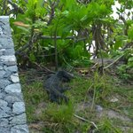 Monitor Lizard spotted