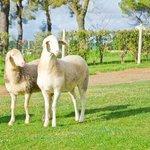 Nuestras ovejas pastan tranquilamente