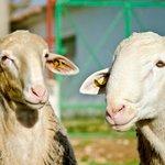Nuestras ovejas