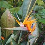 Meadowlark - Tropical Garden, Bird of Paradise 8-2014