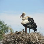 Stork seen from restaurant terrace - see the baby?