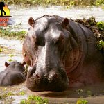 Mom & Baby Hippo