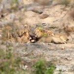 Lion feed on a buffalo