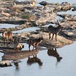 Waterbuck at Olifants camp