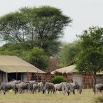 Wildebeest/Gnu at the tents