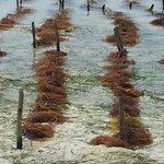 piantagioni alghe