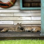 Bobcats on the porch