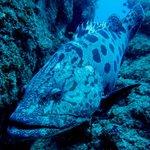 Patatoe grouper