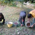 la raccolta delle castagne in montagna