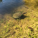 One of the hundreds of turtles