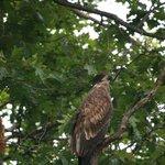 Gloden Eagle