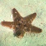 Starfish at Sam's snorkeling spot