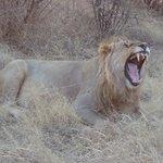 Yawing Lion