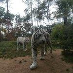 les tigres blanc vue du Lodge