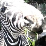 feeding the Zebras