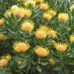 Spring Proteas in Garden