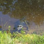 One of the 4 gators we saw.