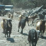 Goats joining the convoy