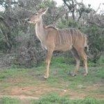 Beautiful kudu